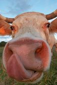 picture of moo-cow  - A cow licking its nose in a green field - JPG