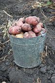Gathering harvest of potatoes