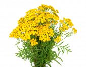picture of tansy  - Herbal medicine - JPG