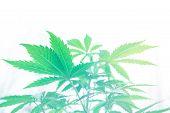 Cannabis Flower Indoor Growing. Marijuana Business. Grow In Grow Box Tent. Northern Light Strain. Pl poster