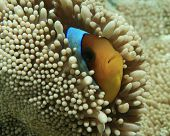 Red Sea Anemonefish in Haddon's Anemone