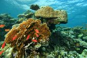 Coral Reef Scene in the Red Sea, Egypt