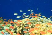 Damselfishes and Anthias on a coral reef at the Blue Hole in Egypt