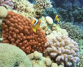 picture of coral reefs  - Red Anemone with Anemonefishes - JPG