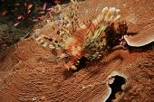 Lionfish on Castle Coral (also known as Leather or Plate Coral) poster