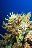 Lionfish(Pterois volitans) and coral