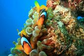 Pair of Anemonefishes (Amphiprion bicinctus)