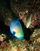 Rusty Parrotfish (Scarus ferrugineus) and Klunzinger's Wrasse (Thalassoma lunare)