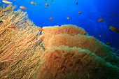 stock photo of molly  - Gorgonian Fan Coral  - JPG