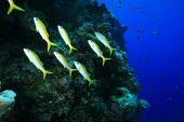 Shoal of Yellowfin Goatfish (Mulloidichthys vanicolensis) poster