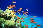 Lyretail Anthias on a coral reef