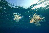 Lionfish hunting silversides