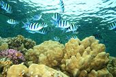 stock photo of sergeant major  - Coral Reef with Sergeant Major Fishes - JPG