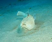 Whitemargin Stargazer (Uranoscopus sulphureus) buries itself in the sand