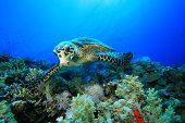 Hawksbill Turtle feeds on soft coral