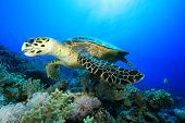 Hawksbill Turtle (Eretmochelys imbricata) eating soft coral