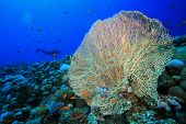 pic of molly  - Giant Sea Fan coral  - JPG