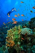 stock photo of coral reefs  - Scuba Diving on coral reef - JPG