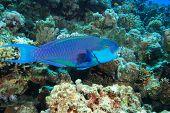 Steepheaded Parrotfish (Chlorurus gibbus)
