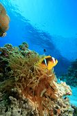 Bubble Anemone and Red Sea Anemonefishes