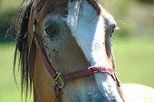 Mennonite Pferd