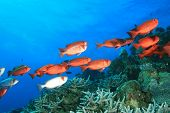 School of Crescent-tailed Bigeye fish on a tropical coral reef