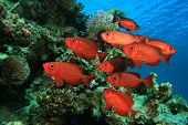 School of Fish: Crescent-tailed Bigeyes on coral reef