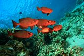 Shoal of colorful red Bigeye fish on coral reef