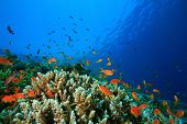 Acropora Hard Corals and Lyretail Anthias fish on a tropical reef in the Red Sea, Egypt