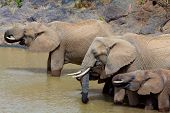 Family group of African Elephants drinking at a waterhole