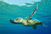 foto of hawksbill turtle  - Hawksbill Sea Turtle in clear blue water - JPG
