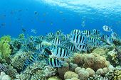 image of sergeant major  - School of Scissortail Sergeant Fishes on a coral reef in the Red Sea - JPG