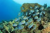 picture of sergeant major  - Shoal of Scissortail Sergeant fish on a coral reef in the Red Sea - JPG