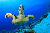 Turtle. (Hawksbill Turtle, Eretmochelys imbricata)