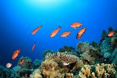 School of Bigeye Fish on Coral reef in the Red Sea