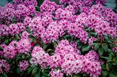 Beautiful Bright Pink Rhododendron Flowers, Growing In The Garden. Spring Blooming Nature. poster