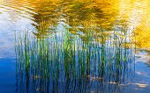 Green Aquatic Plants Close-up Are Reflected In The Clear Water With Golden Colors Of Sunlight. Natur poster