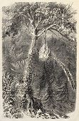 Antique illustration of Quetzal in the nest. Original, from drawing of De Pontelli, was published on