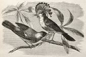 Old illustration of Royal flycatcher (Onychorhynchus coronatus). Created by Riou, after Rouyer and Badoursau, published on Le Tour du Monde, Paris, 1864