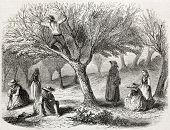 old illustration of olive harvesting near Toulon, France. Created by Gaildrau, published on L'Illust