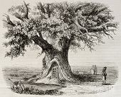 Old illustration of the Chene de Montravail (Oak of Montravail) in the Forest of Fointanbleau, Franc