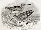 Old illustration of a Brown snipe (Scolopax grisea). By unidentified author, published on Magasin Pi