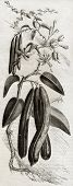 Old illustration of a Vanilla plant (Vanilla planifolia). By unidentified author,  published on Maga