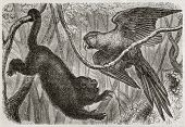 Old illustration of a monkey and a parrot in the jungle. Created by Bocourt and Dupre, published on Merveilles de la Nature, Bailliere et fils, Paris, 1878
