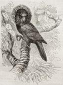 Old illustration of Red-fan parrot (Deroptyus accipitrinus). Created by Kretschmer and Jarmhargt, published on Merveilles de la Nature, Bailliere et fils, Paris, 1878