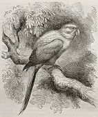 Old illustration of Sun Parakeet (Aratinga solstitialis). Created by Kretschmer and Schmid, publishe