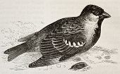 Old illustration of House Sparrow (Passer domesticus). Created by Wendt, published on Merveilles de