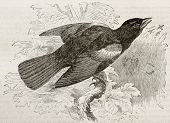Old illustration of Red-winged Blackbird (Agelaius phoeniceus). Created by Kretschmer, published on