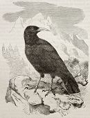 Old illustration of Red-billed Chough (Pyrrhocorax pyrrocorax). Created by Kretschmer and Jahrmargt,