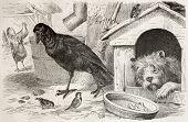 Old illustration of Common Raven (Corvus corax). Created by Kretschmer, published on Merveilles de la Nature, Bailliere et fils, Paris, 1878